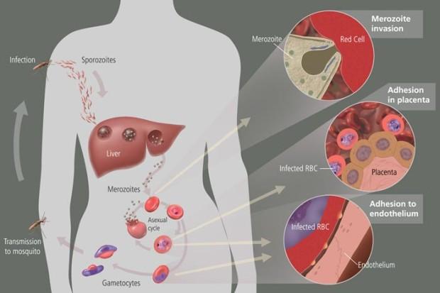 The Malaria cycle