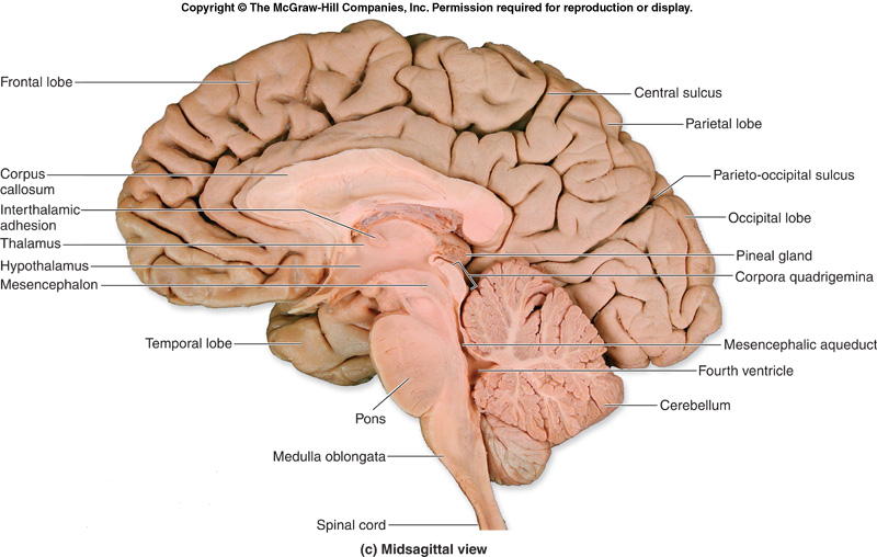 difference between human and sheep brain pons medulla relationship