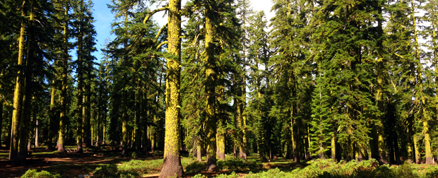 shasta greenery forest area