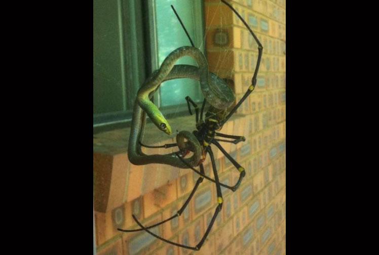 Spider Eats Snake — Snake-Eating Spider In Australia ...