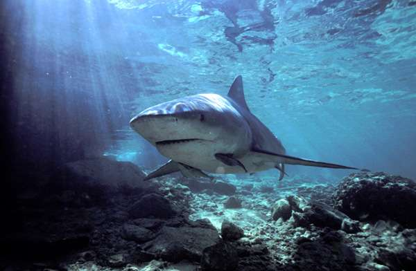 Bull Sharks live in both saltwater and freshwater and will attack almost anything as they are fiercely territorial