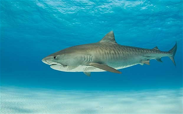 Tiger Sharks can be over 16 feet long and are known to attack surfers