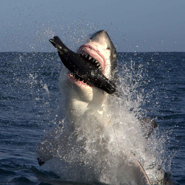 Great White Sharks Return to Cape Cod, MA | Man Attacked ...
