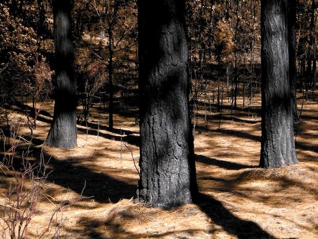 Blackened trunks near Yosemite Park entrance on highway 120.