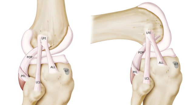 Diagram showing the knee and the newly discovered ALL.  Image Courtesy of University Hospitals Leuven