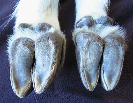 goat hooves