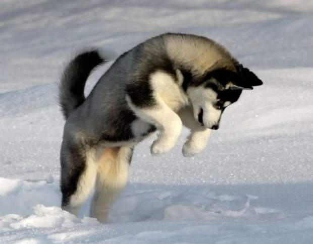 Huskey in snow