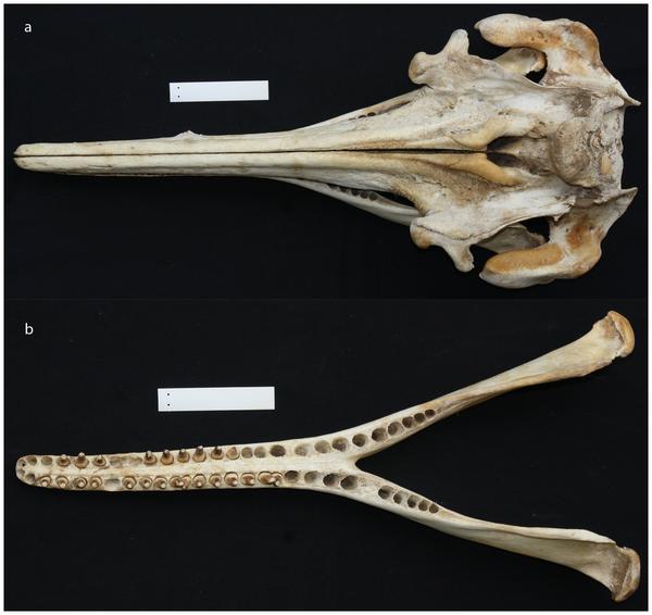 Skull of Araguaia river dolphin.