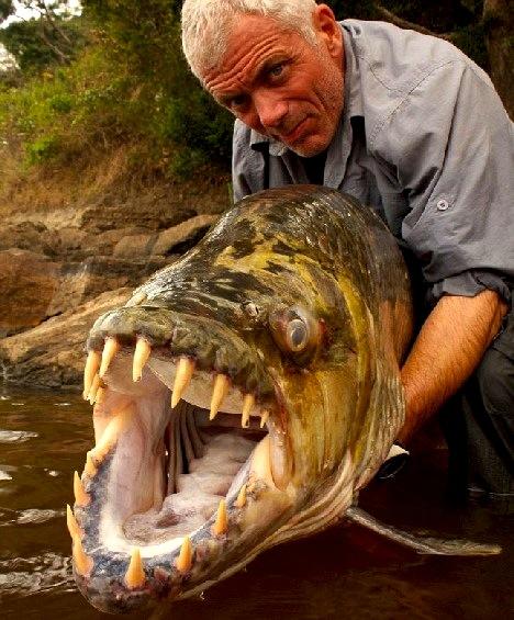 African Tigerfish.
