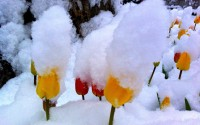 tulips with snow on them