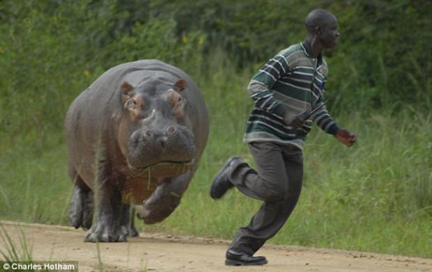 hippo tries to kill man