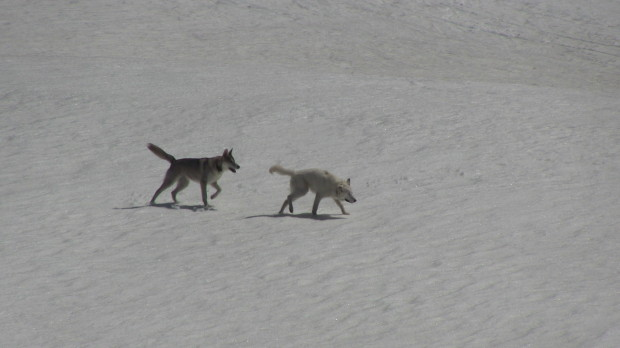 2 Arctic Wolves.  Seriously.