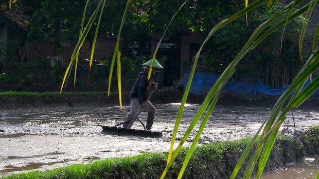 Draining the rice paddies.  Pushing the water off with a tool.
