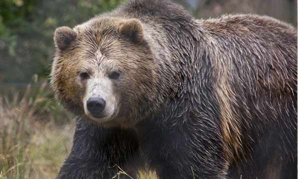 Giant Grizzly Bear