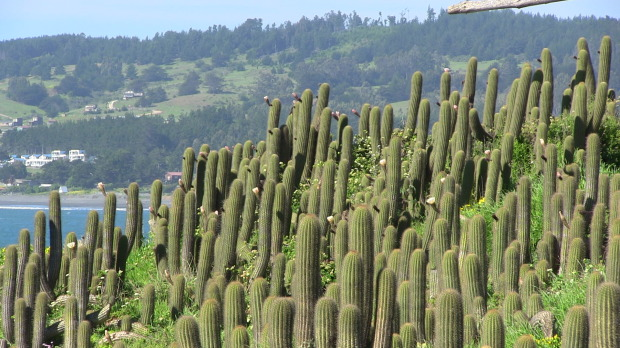 The trade mark of Lobos:  Cactus.