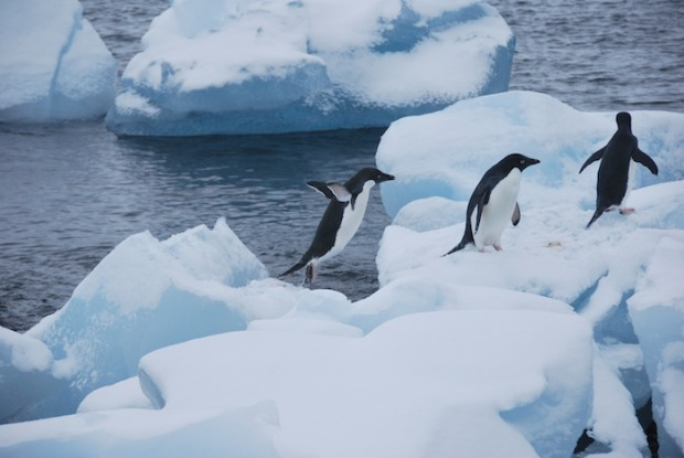 Adelie Penguins jumping from ice block to ice block on King George Isle.