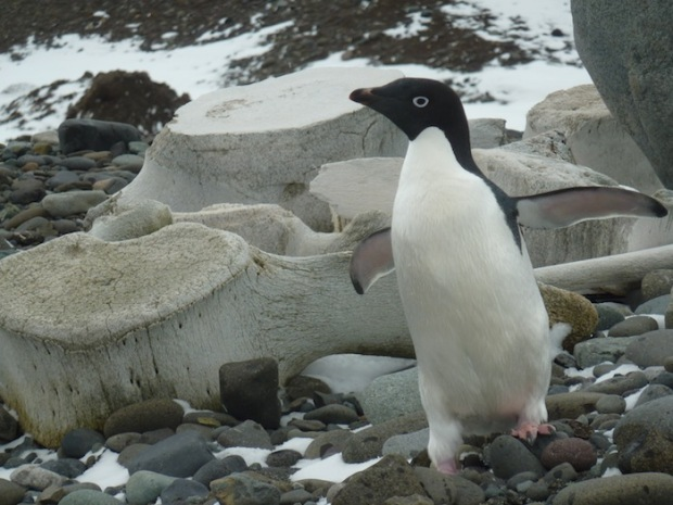 Adelie Penguin and whale bones.