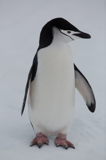 Chinstrap Penguin in Antarctica.