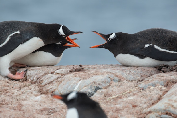 Lazy fighting Gentoo Penguins. Antarctica.