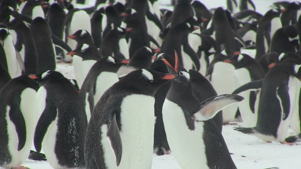 Gentoo Penguins patrying.