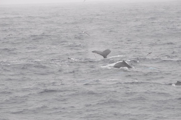Humpback Whales in the Drake Passage. photo: Juha Virolainen