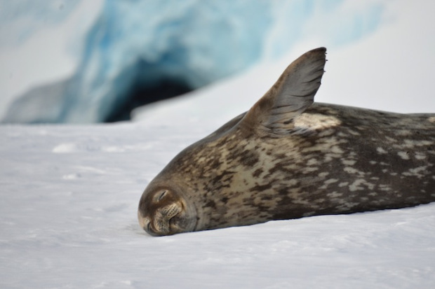 Weddell Seal. photo: Mike Libecki