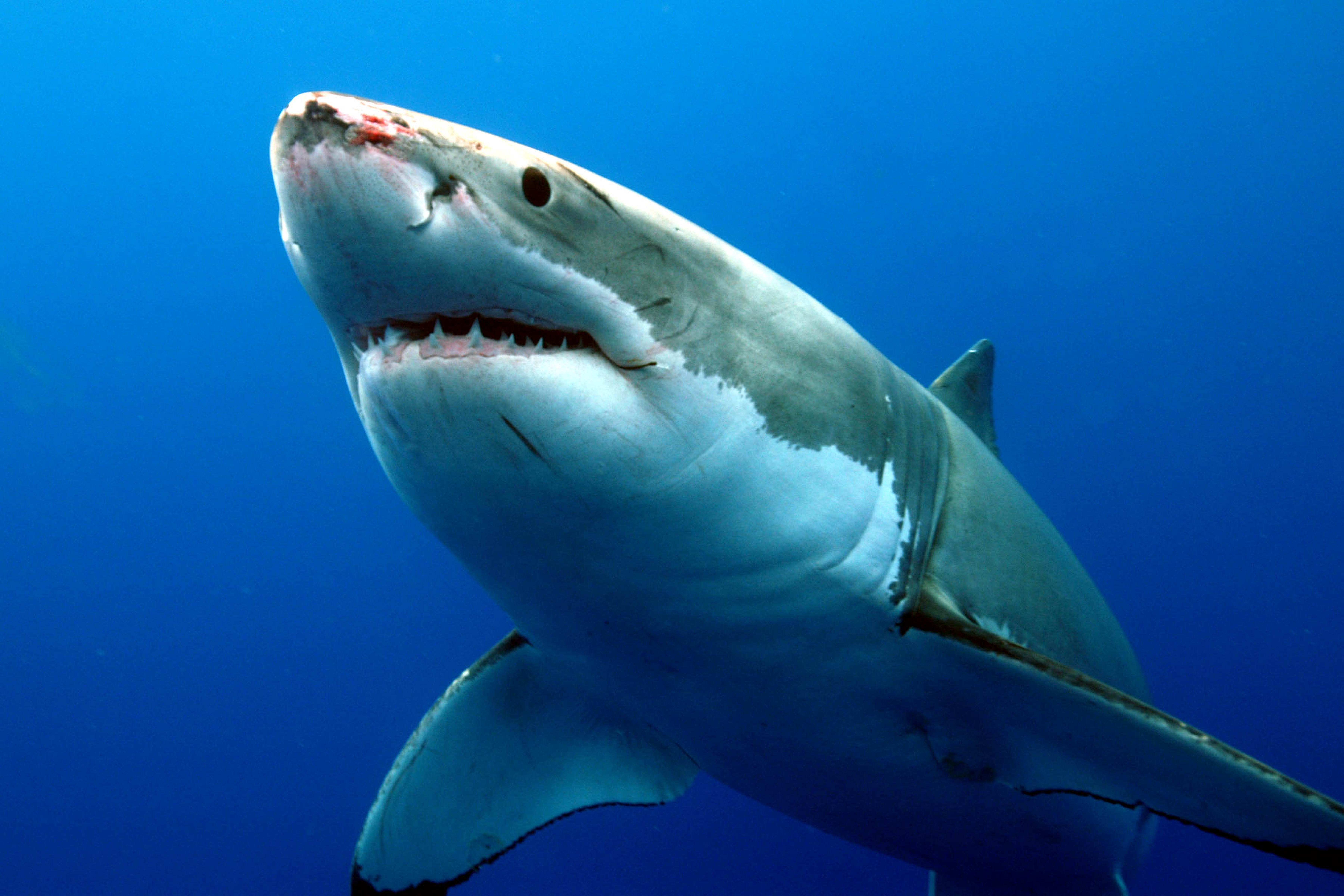 images of great white sharks - photo #29