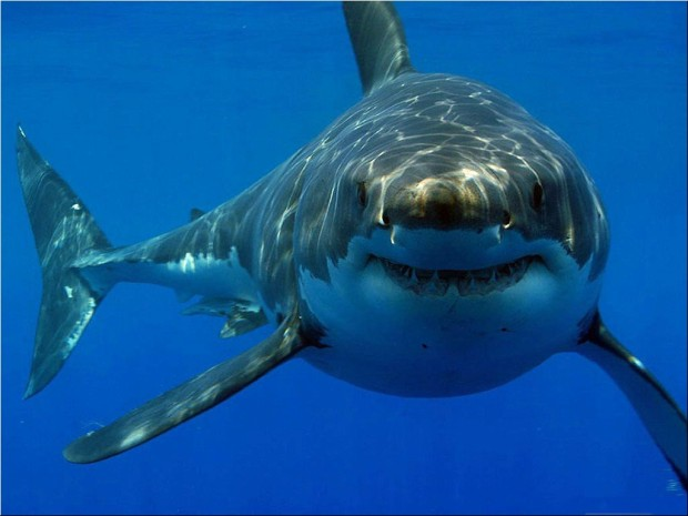 The Great White Shark.