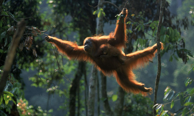 The Sumatran Orangutan is also at risk. (www.worldwildlife.org)
