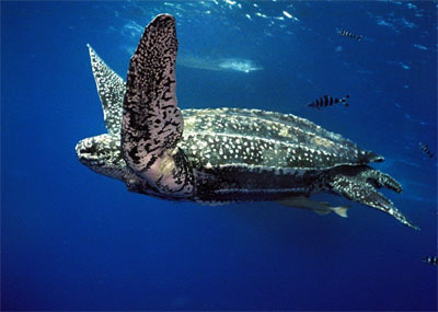The Leatherback Sea Turtle is one of many endangered species. http://www.itsnature.org/sea/other/leatherback-turtle/