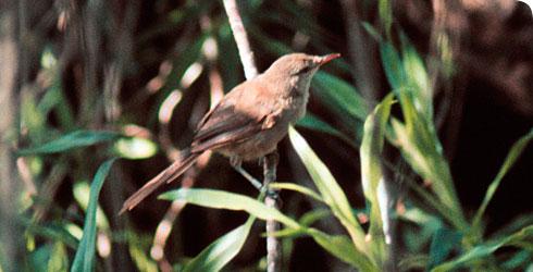 The Aldabrana Warbler www.nhm.ac.uk