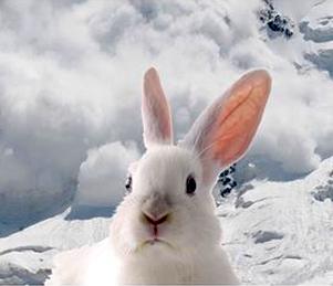 rabbit avalanche