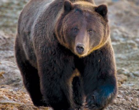A Yellowstone National Park Grizzly Bear. photo: national park service