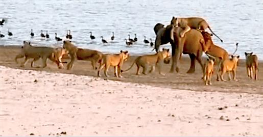 baby elephant fighting lions