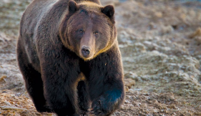 grizzly, A Yellowstone National Park Grizzly Bear. photo: national park service