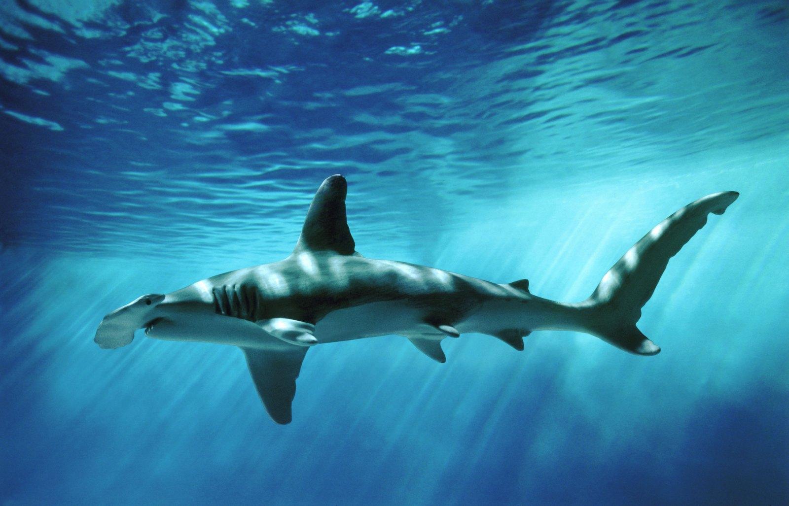 8-Foot Hammerhead Shark Sighting CLOSES 2-Miles of Newport ...
