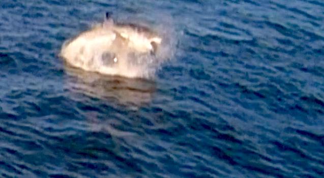 breaching great white shark in san francisco bay, alcatraz, california.