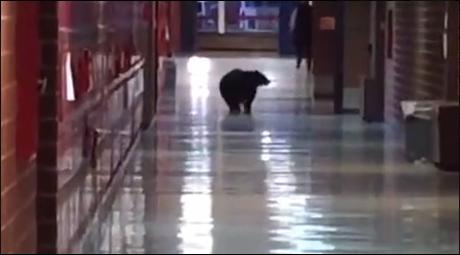 black bear in bozeman high school montana