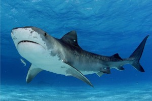 A Tiger Shark is suspected in today's shark attack