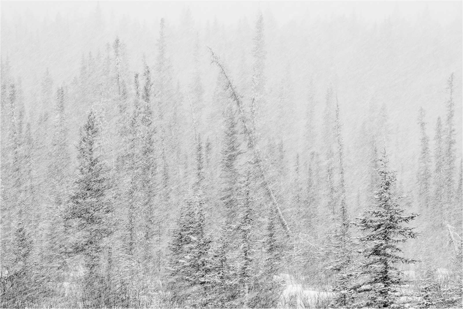 Tahoe's forest should be looking like this come monday.