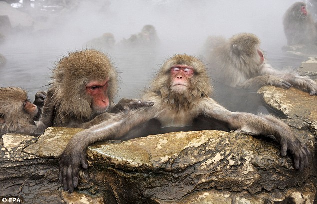 Japanese Macaques are the most northerly primates on Earth besides humans.