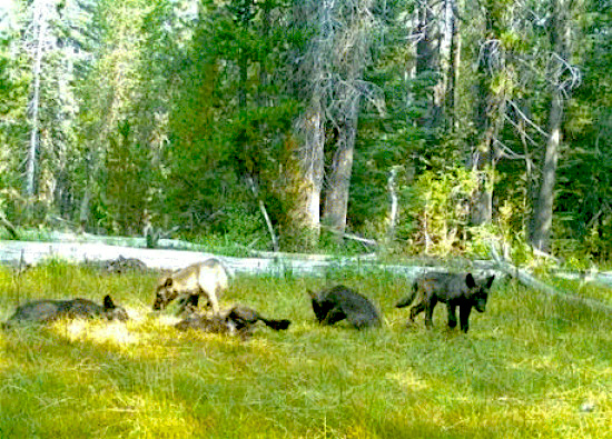 First wolf pack in 91 years confirmed in california last for Calif fish and wildlife