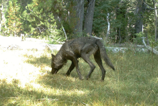 First wolf pack in 91 years confirmed in california last for California fish and wildlife