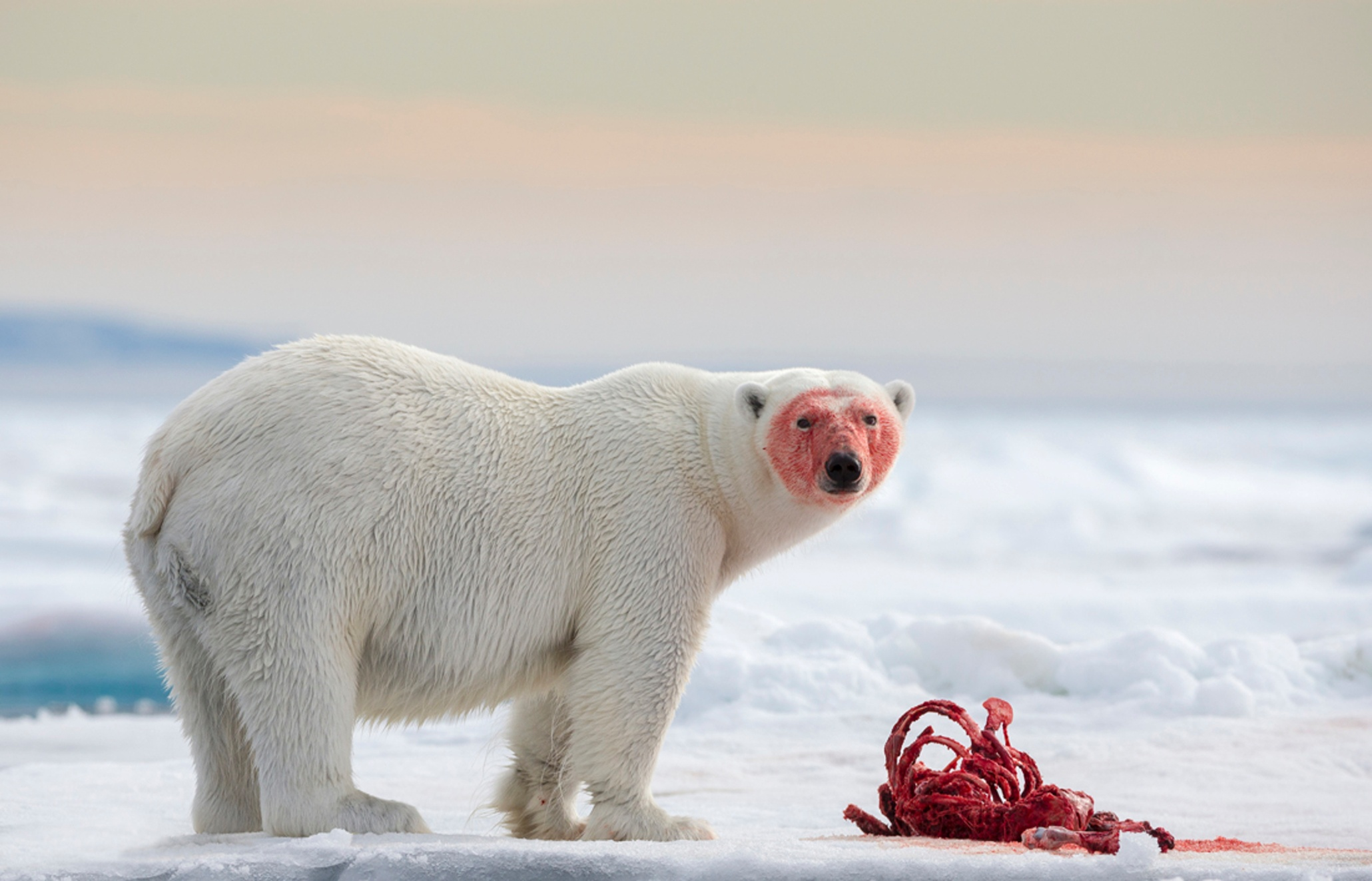 Polar Bears eat stuff. Stock image of a Polar Bear in Svalbard.