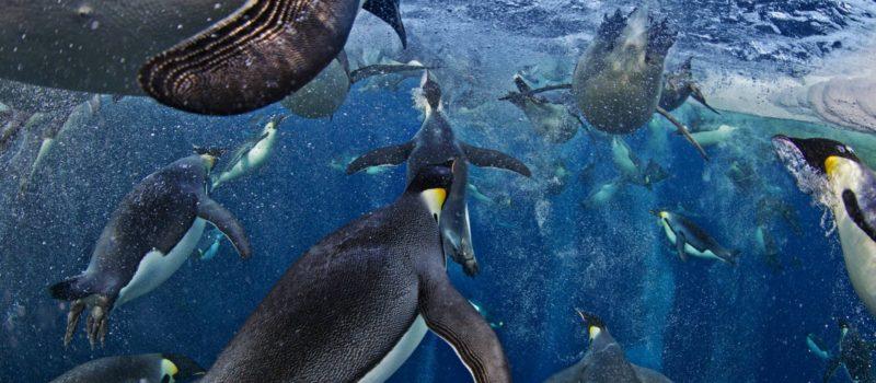 Emperor Penguins hunting in the Ross Sea.  Photo: Zastavki