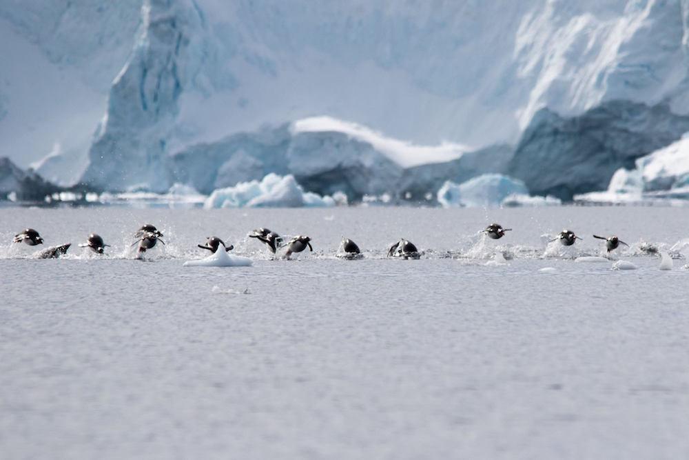 Flying penguins. image: Jeet Kalsi