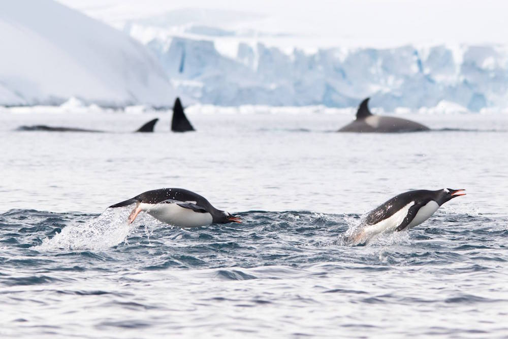 Penguins and Orcas. image: Jeet Kalsi