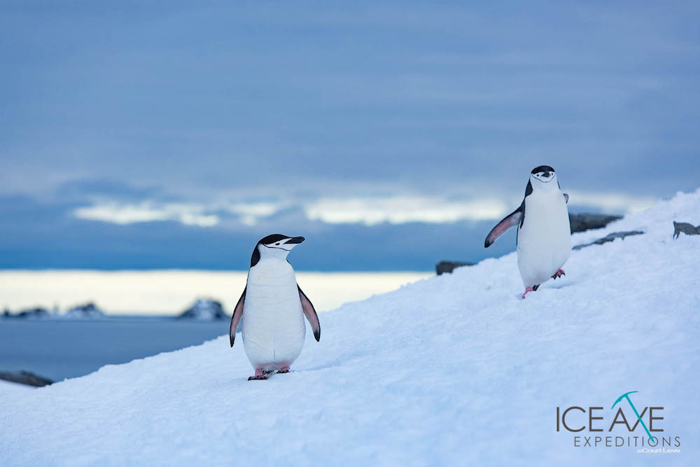 Chinstrap penguins. image: Court Leve/Ice Axe Expeditions