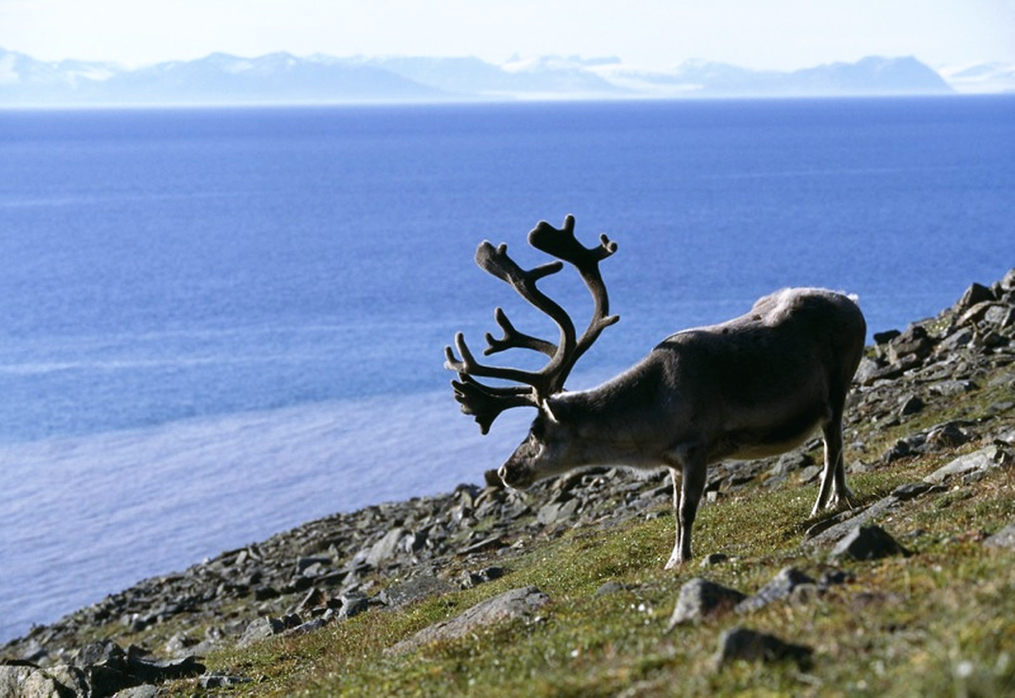 A reindeer in Norway enjoying the summer's bounty pc; Live Science