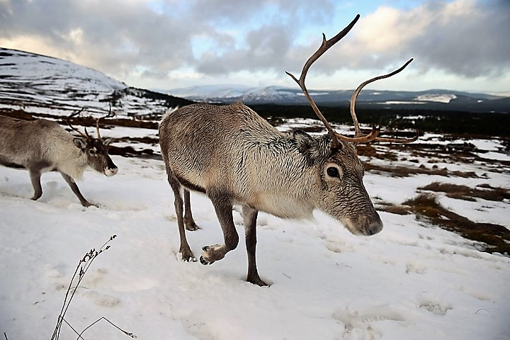 Adult reindeer born in 2010 weigh about 106 pounds, while those born in 1994 were able to hit about 121 pounds. (Photo by Jeff J Mitchell/Getty Images) (Photo : Jeff J Mitchell / Staff)